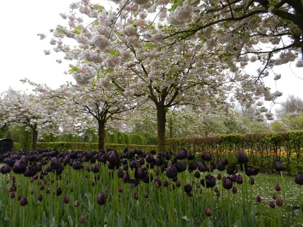 Tulipa Negra, de Sueli Penteado